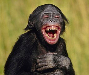 laughing-bonobo-360x240